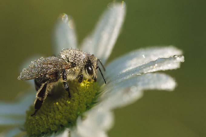 Wildbiene - Foto: Annegret Wiermann